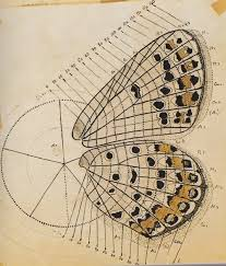 nabokovbutterfly